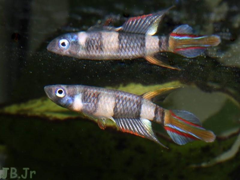 B-Aqua - Epiplatys annulatus